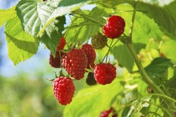 Les nématodes nuisibles associés aux cultures de petits fruits rouges