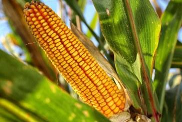 Reconnaître les stades du maïs tout au long de son cycle