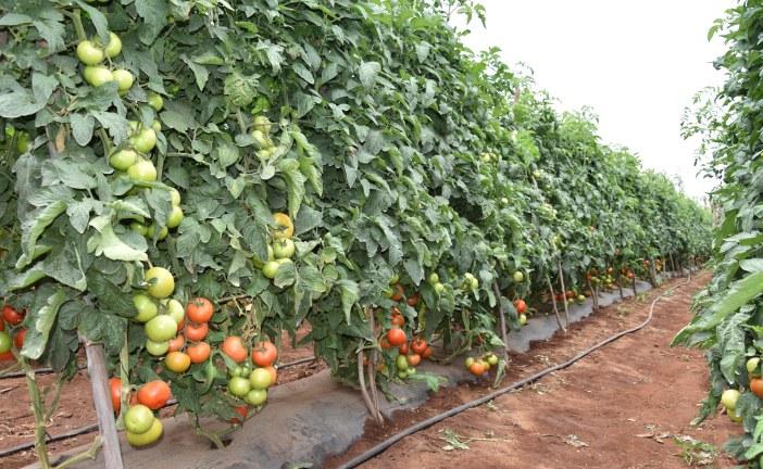 Pionagri présente la variété de tomate plein champ Dalya