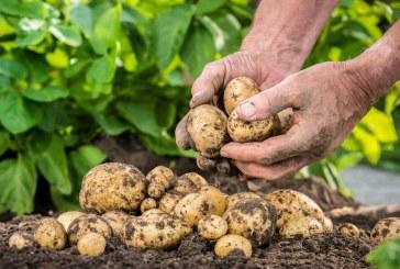 Pomme de terre : Une production handicapée par des déséquilibres récurrents