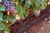 Le raisin qui fait la fierté de tout Doukkali