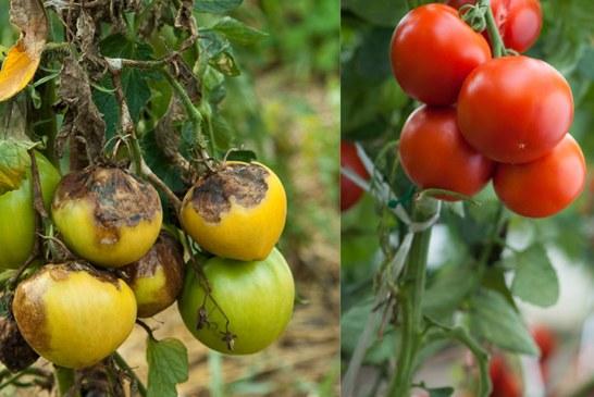 Mildiou et Botrytis: Principaux ennemis de la tomate en hiver