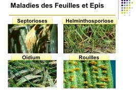 Les maladies du blé  Enjeux et principes de la protection