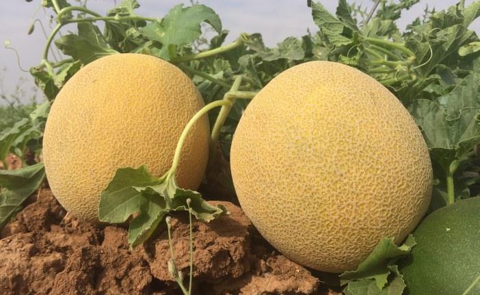 Des melons pour tous les goûts