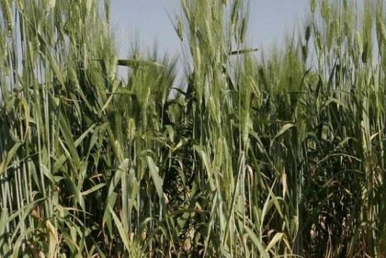 Des «plantes coopératives» semées à forte densité pour augmenter le rendement