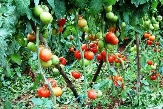 Tomate plein champ : une culture traditionnelle en constante adaptation