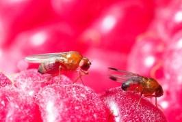 Drosophila Suzukii: 11 ans après, quels moyens de prévention et de lutte ?