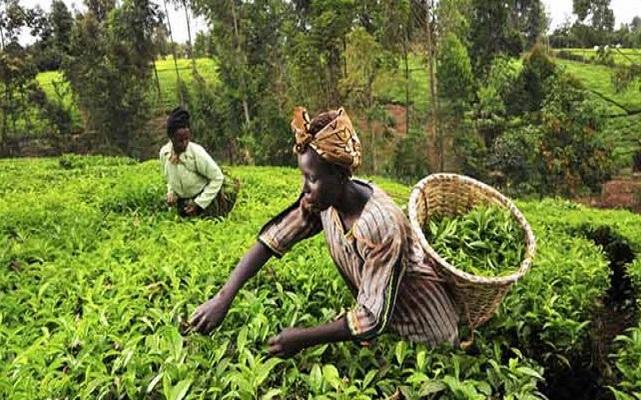 لمحة عن الزراعة في جنوب أفريقيا... موالح ورد وقطن وذرة وتصنيع زراعي | Agri2day / اجري توداي