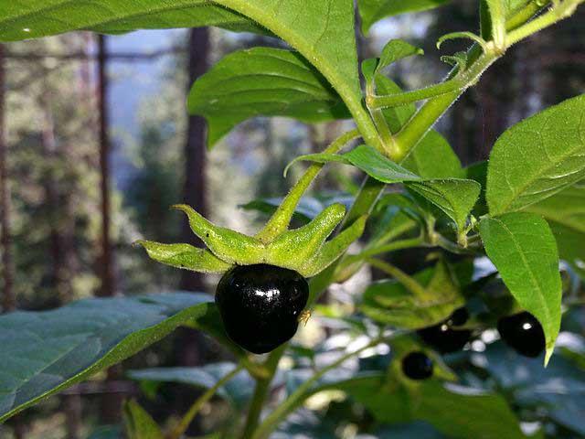 Atropa belladonna Άτροπος μπελαντόνα