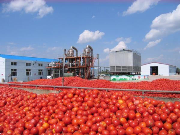 Dangote-tomato-processing
