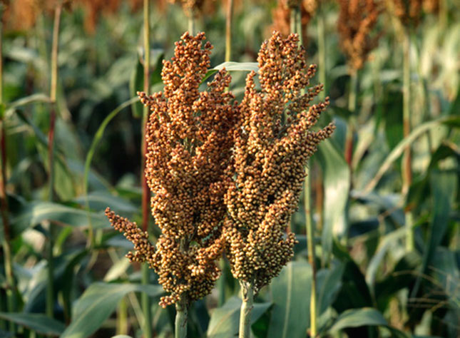 Ever-considered-sorghum