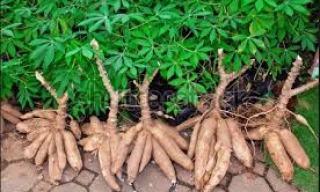 Agency raises alarm over two emerging cassava diseases 1