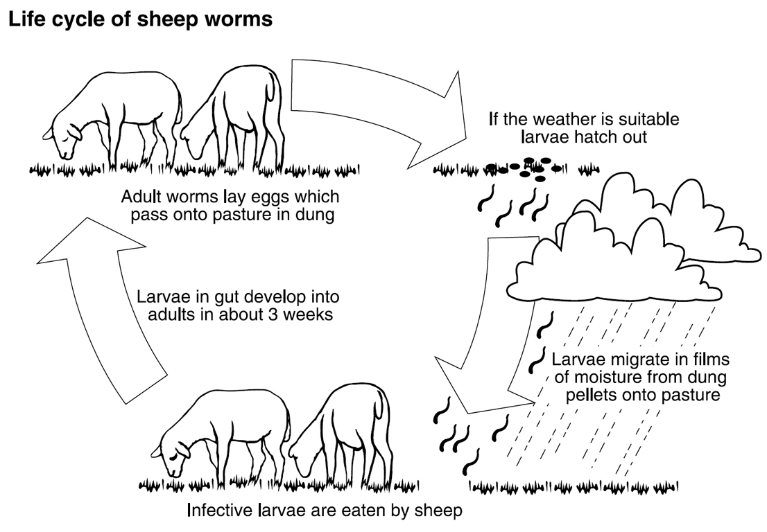 hight resolution of the lifecycle of the barber s pole worm in sheep includes adult worms laying eggs which pass