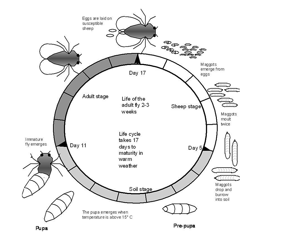 hight resolution of adult flies usually live for approximately two to three weeks with eggs generally hatching into larvae