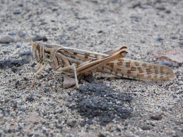 La Scistocerca Gregaria, locusta del deserto