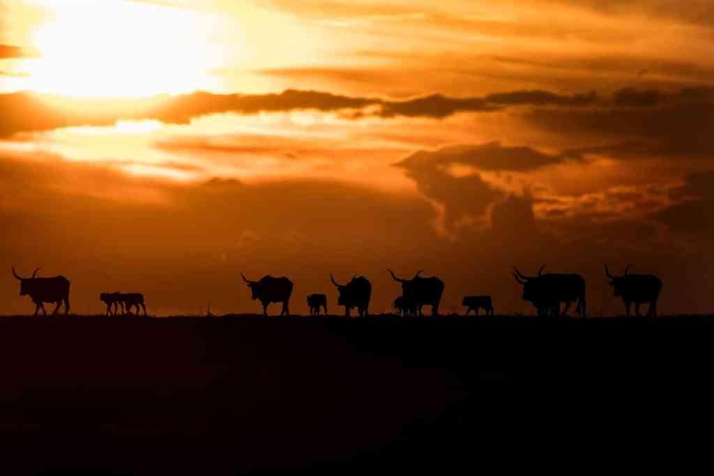 Una mandria di bovini maremmani