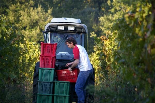 Il trasporto dell'uva, raccolta a mano, nell'azienda Mulini di Segalari