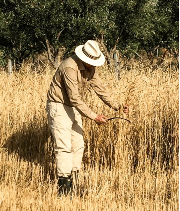 Un agricoltore di Vitulia miete il grano