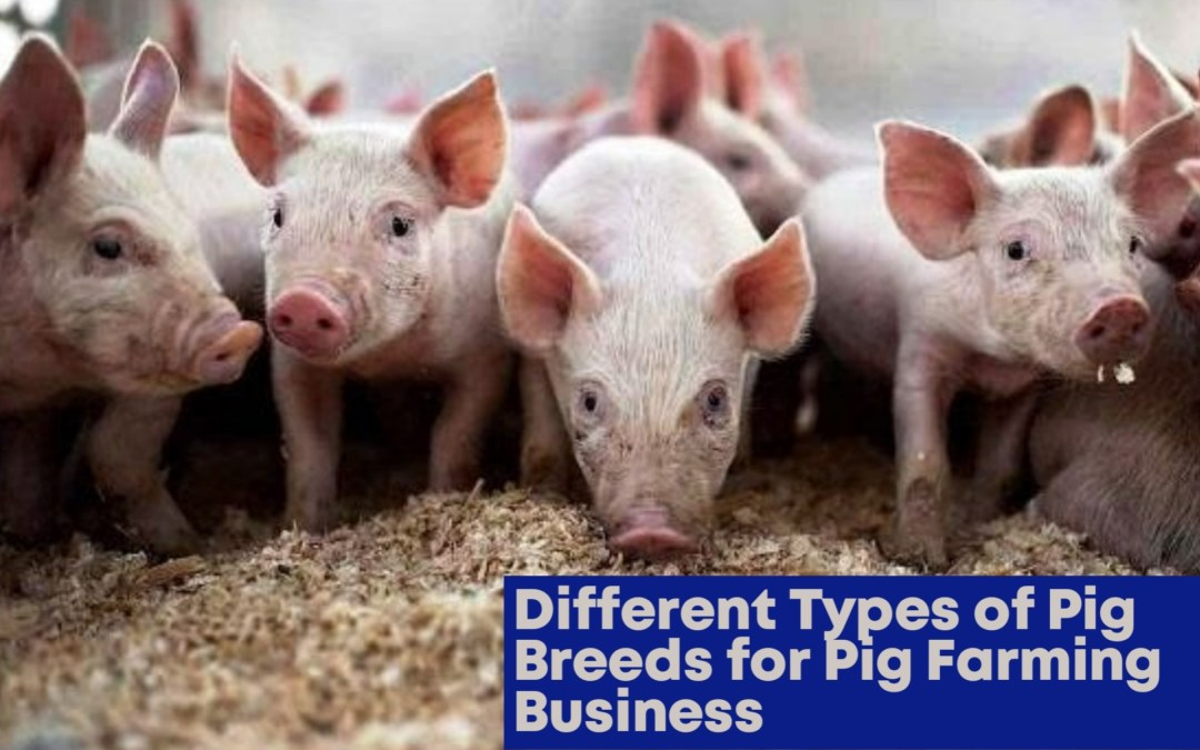 Different Types Of Pig Breeds For Pig Farming Business