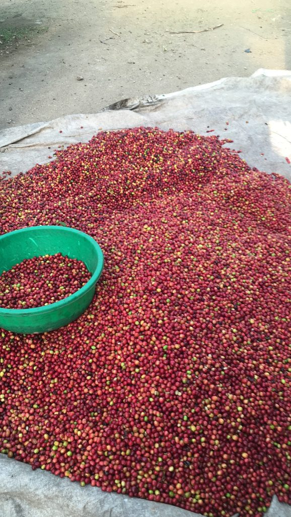 Quality red cherries just delivered for processing