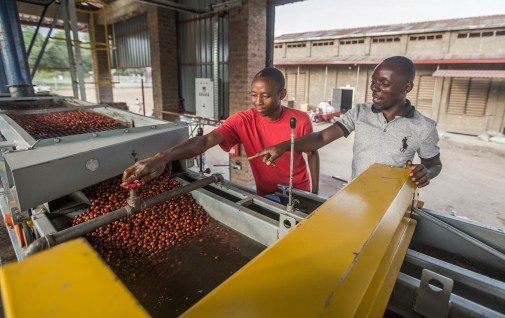 The cherries are floated and graded to ensure only the finest ones make it into our coffee