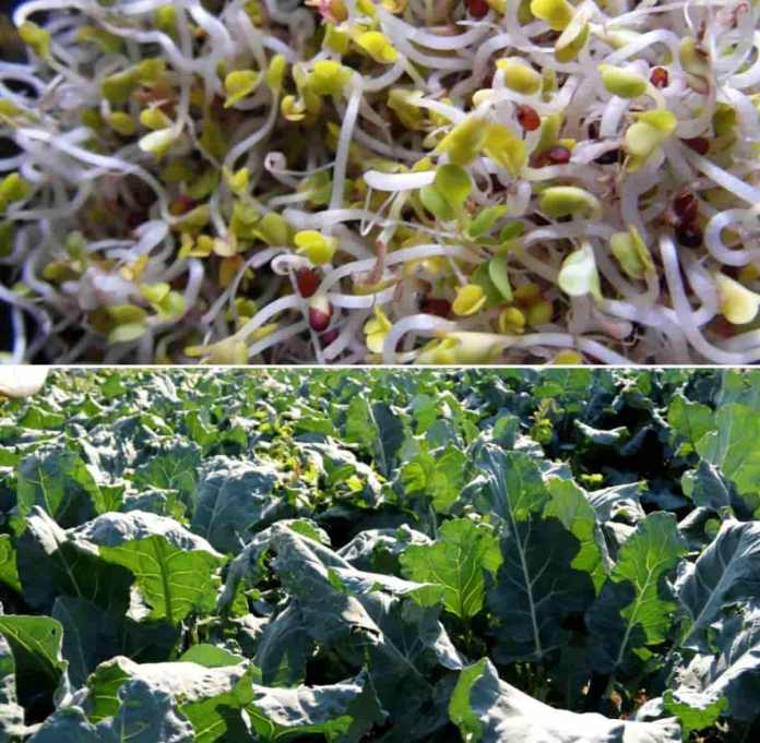 Organic Broccoli Cultivation, and Growing Practices