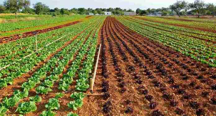 Vegetable Farming Profit Per Acre, Model Project Report