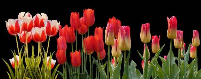 Tulip plant care.