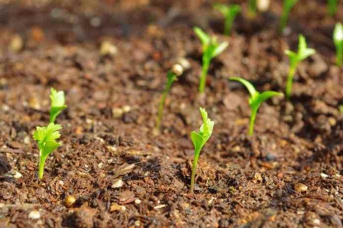 Planting Guide for Organic Coriander Farming