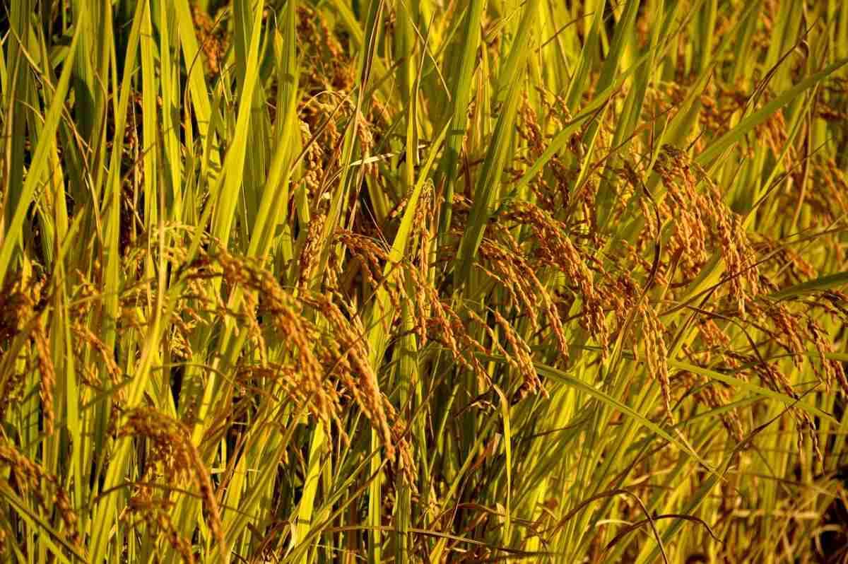 SRI Rice Cultivation