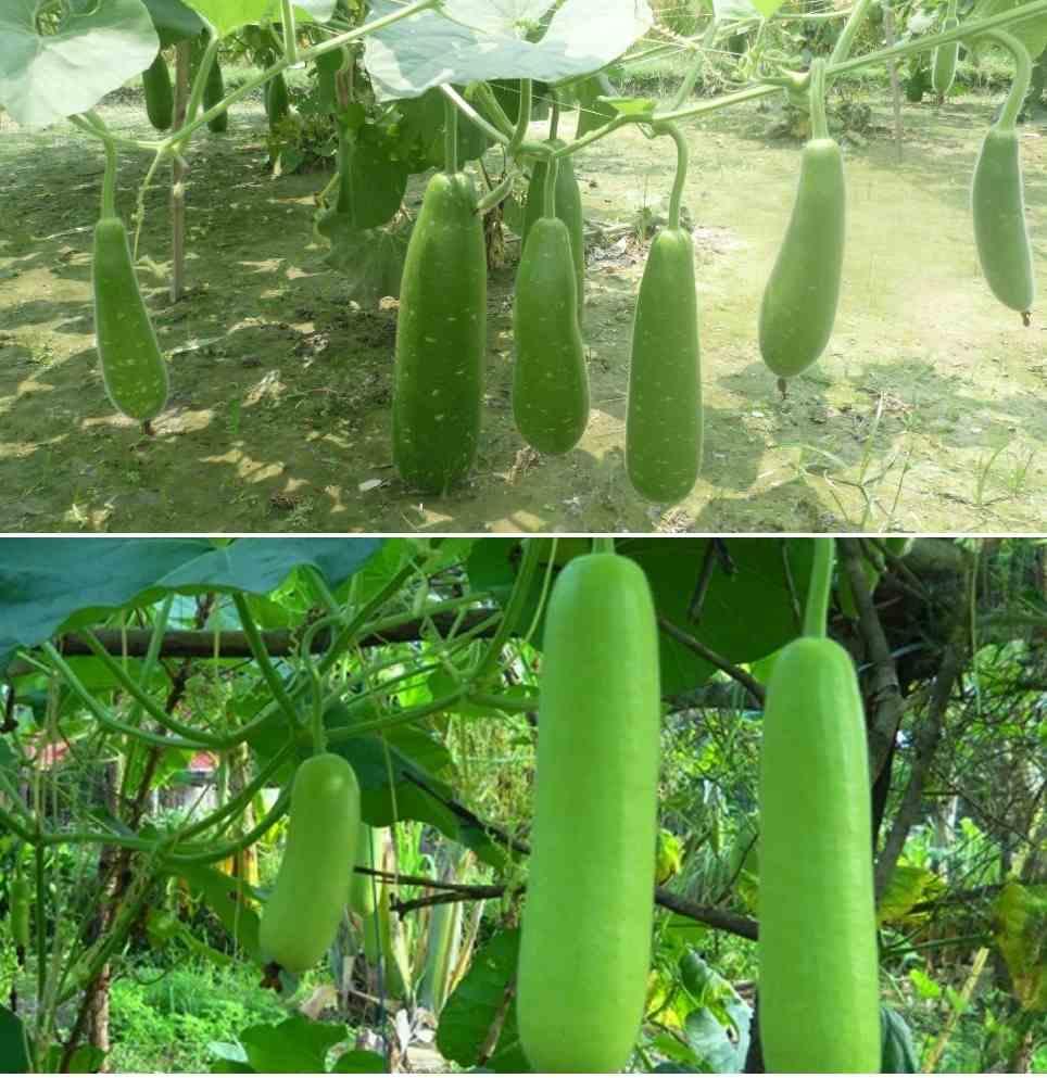 Growing Organic Bottle Gourd
