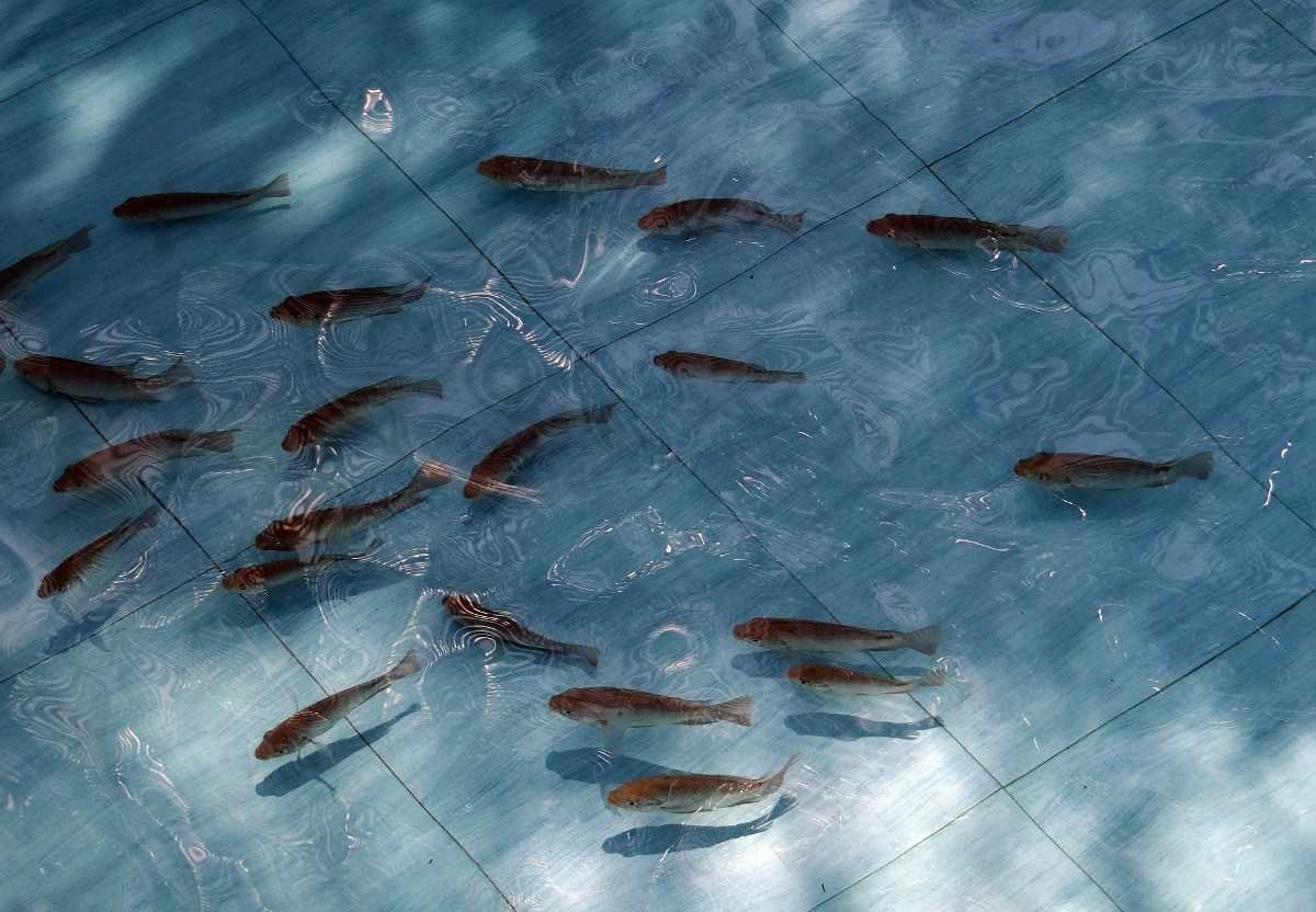 Tilapia Fish Fingerlings