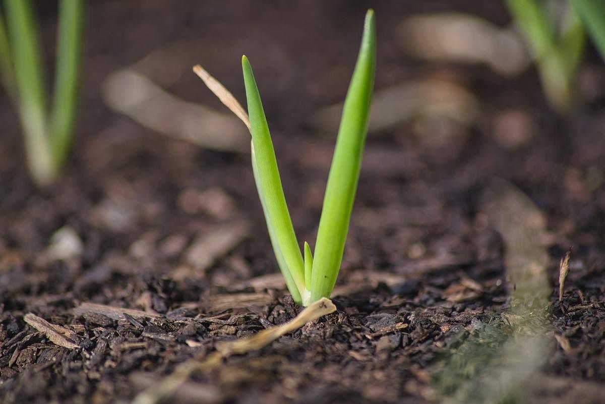 Spring Onion Plant
