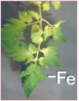 Nutrient Deficiency in Plant