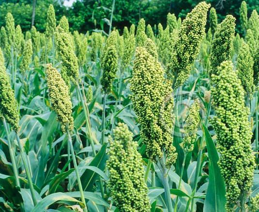 Sorghum,Sorghum Cultivation