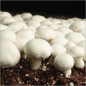 White Button Mushroom