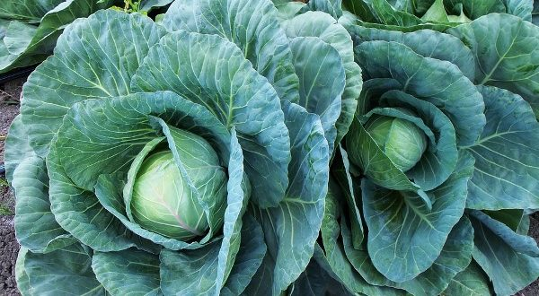 Cabbage cultivation