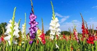Gladiolus cultivation
