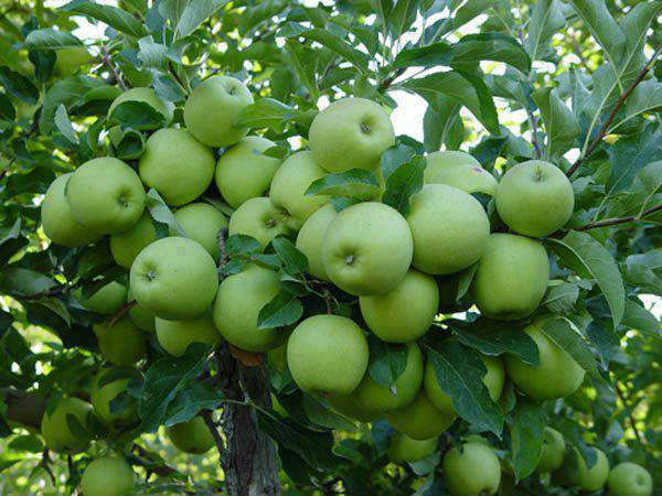 Apple Cultivation