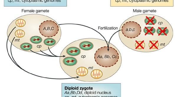 Cytoplasmic Inheritence.