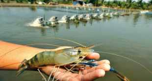 Fresh Water Prawn Culture