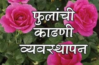 फुलांची काढणी व्यवस्थापन