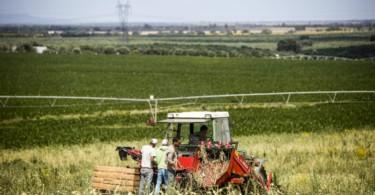 Alho - Vida Rural (3)