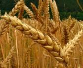 Descodificado o genoma do trigo ao fim de 13 anos de investigação