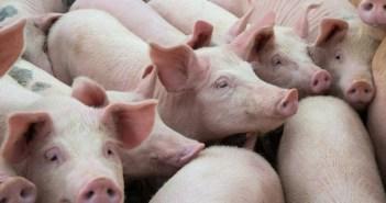 Camboja aberto para a exportação de carne de suíno nacional