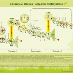 Photosynthesis Z Scheme Diagram Software System Model Of Electron Transport In
