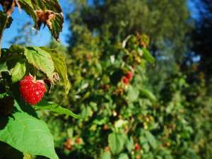 Agricoltura - More e Lamponi