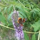 Natura Circostante - Farfalla Variopinta