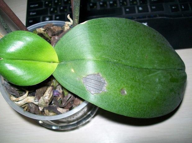 Гниль на орхидеях