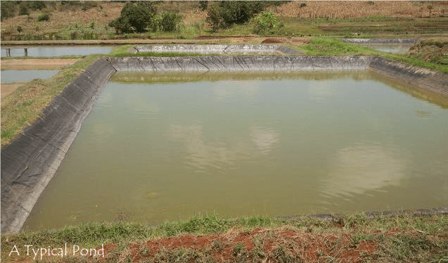 Fish pond design and construction agro 4 africa for Fish suitable for small pond